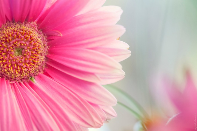 Beautiful Pink Gerbera